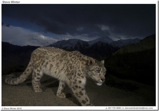Steve_Winter_Snow_Leopard